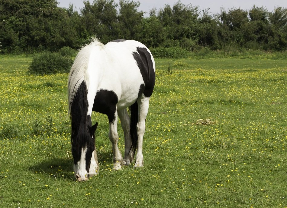 black-white horse is grazing in the meadow