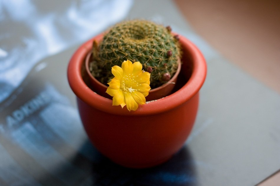 potted cactus with yellow flower