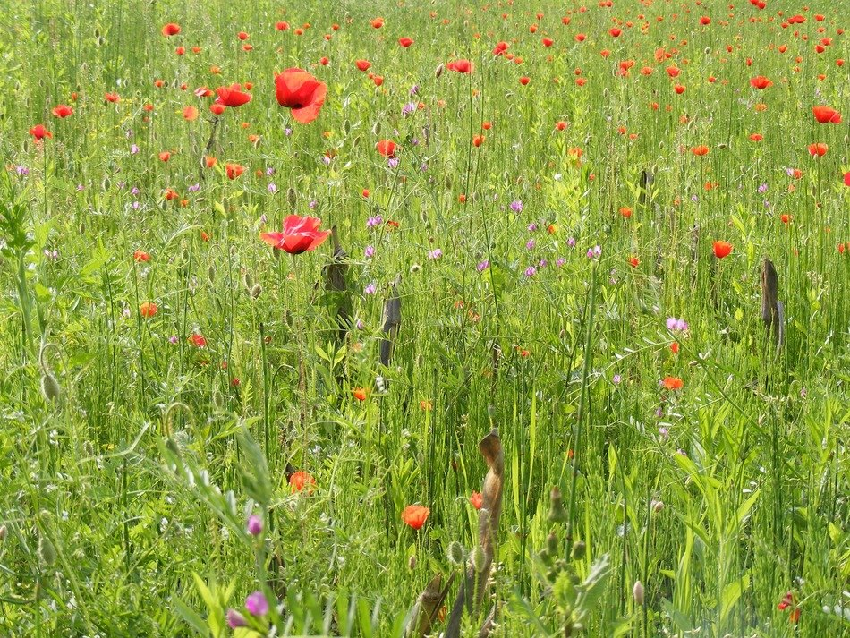 red poppies among green field