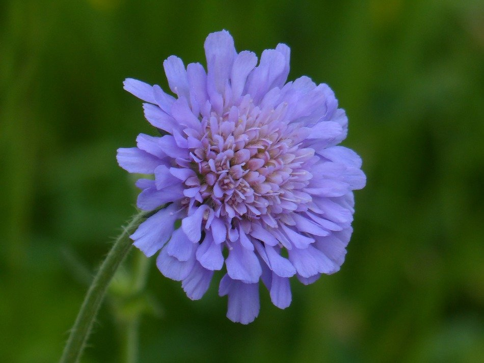 field scabiosa pincushion flower