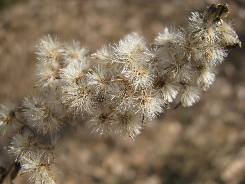 plant with fluffy seeds close up