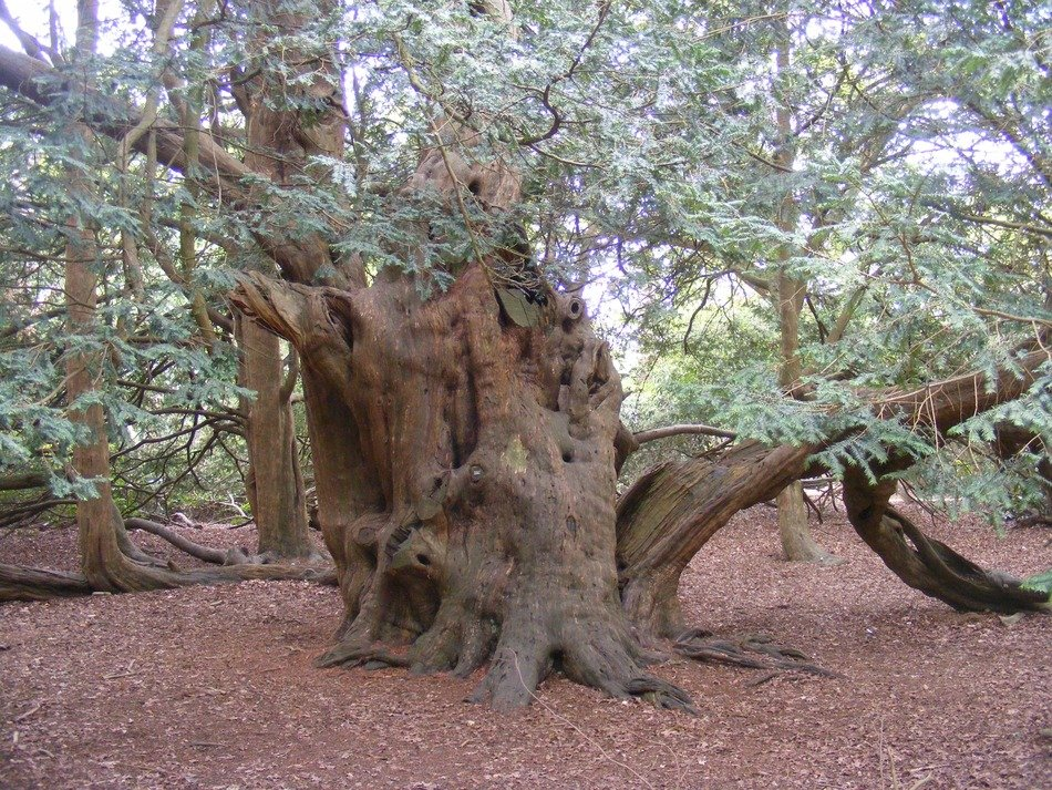 yew tree at Langley park in England