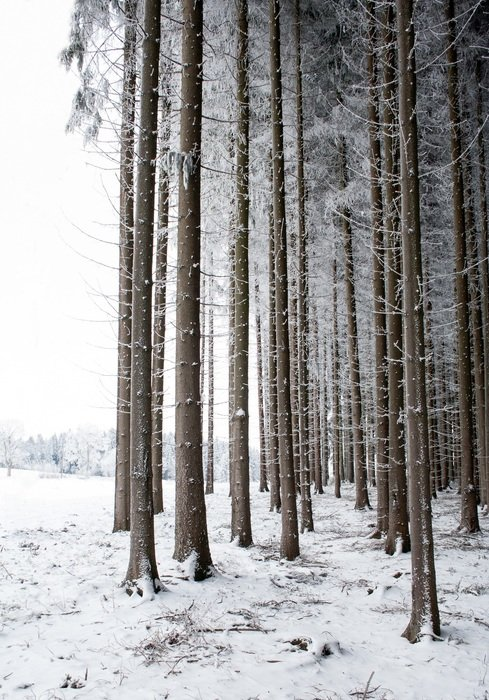 straight trees in a snowy forest