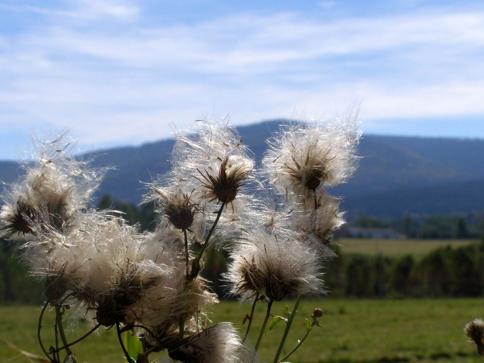 fluffy thistle in national park