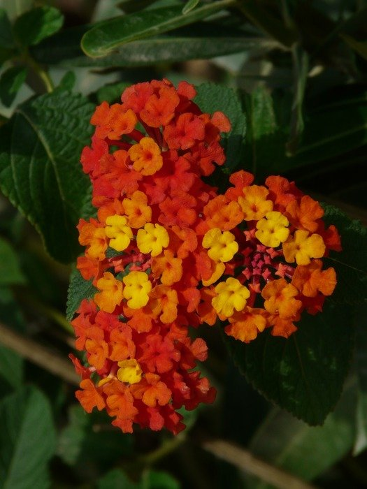 lantana is a plant with orange flowers