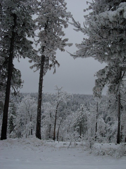 trees in the snow in the forest in December