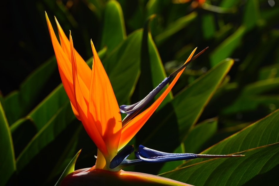 exotic bird of paradise blossom
