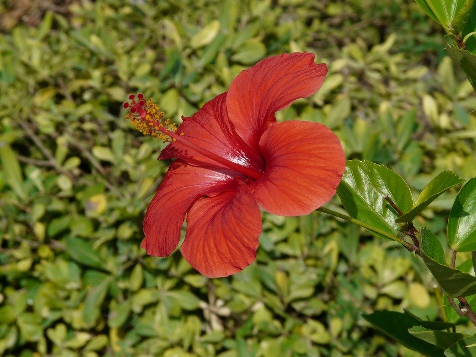 red hibiscus on a background of green leaves