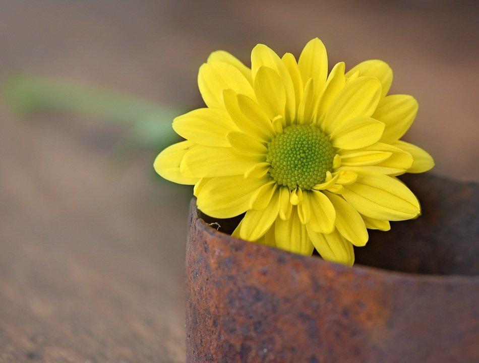 yellow flower in the iron pot