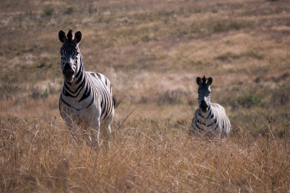 two zebras in the wild nature