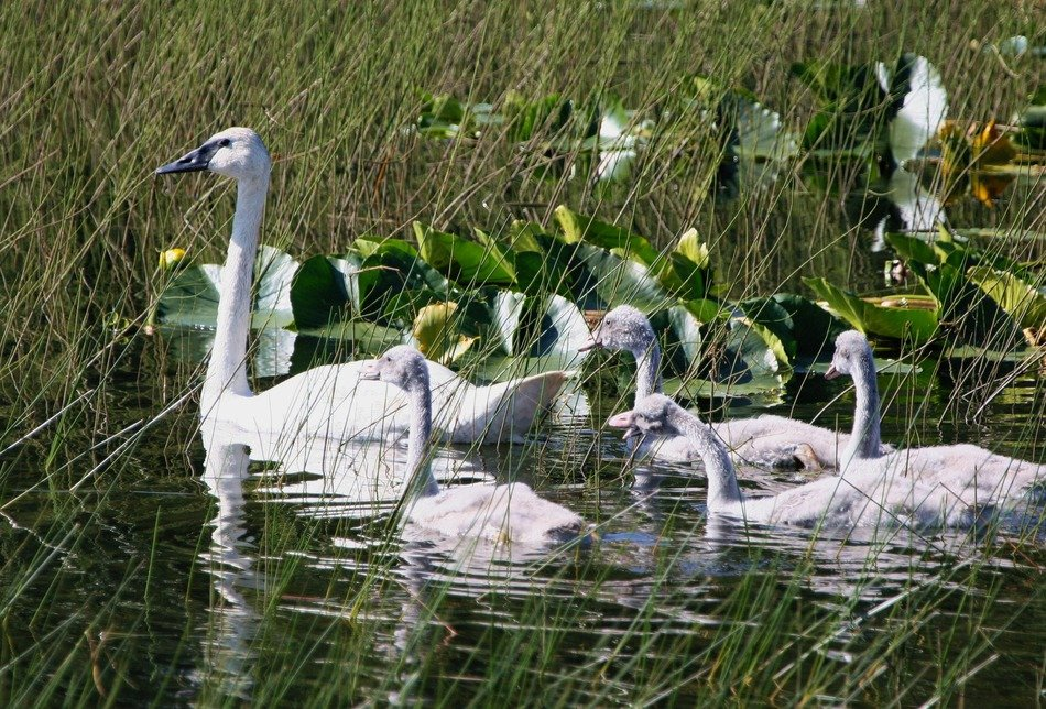 trumpeter swans and chicks in the pond
