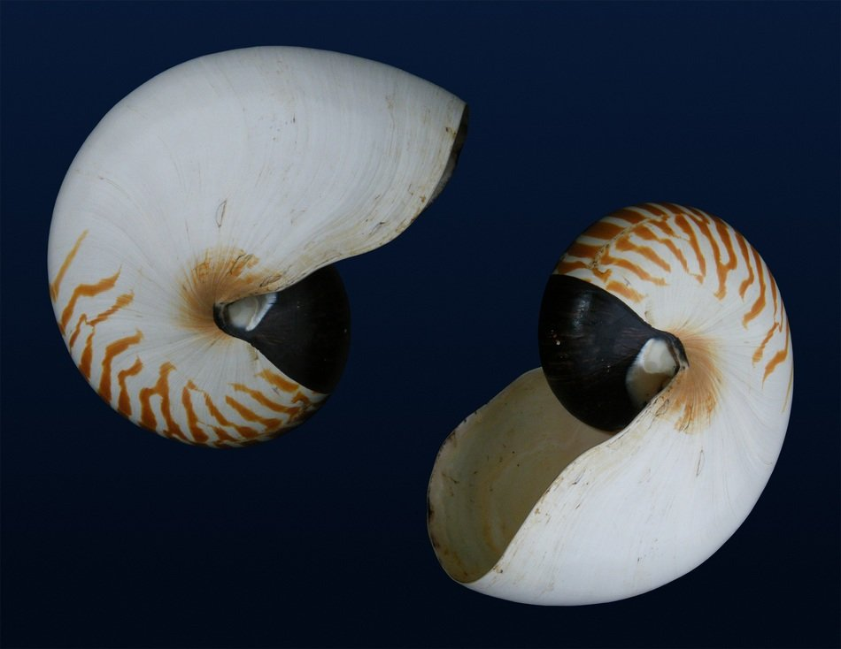 nautilus shells sea