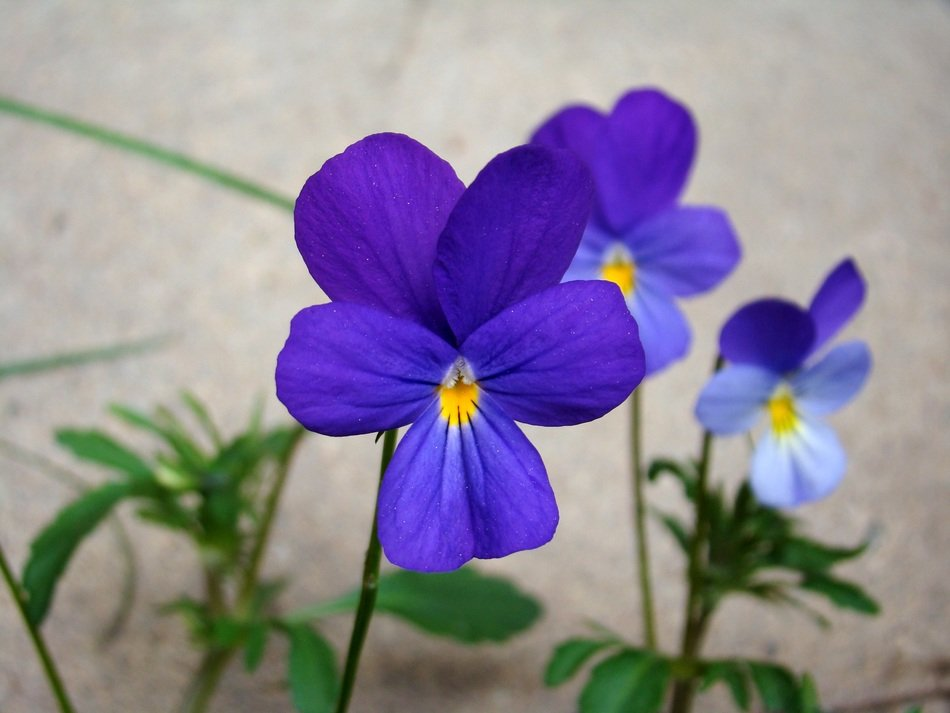 blue violets in pots