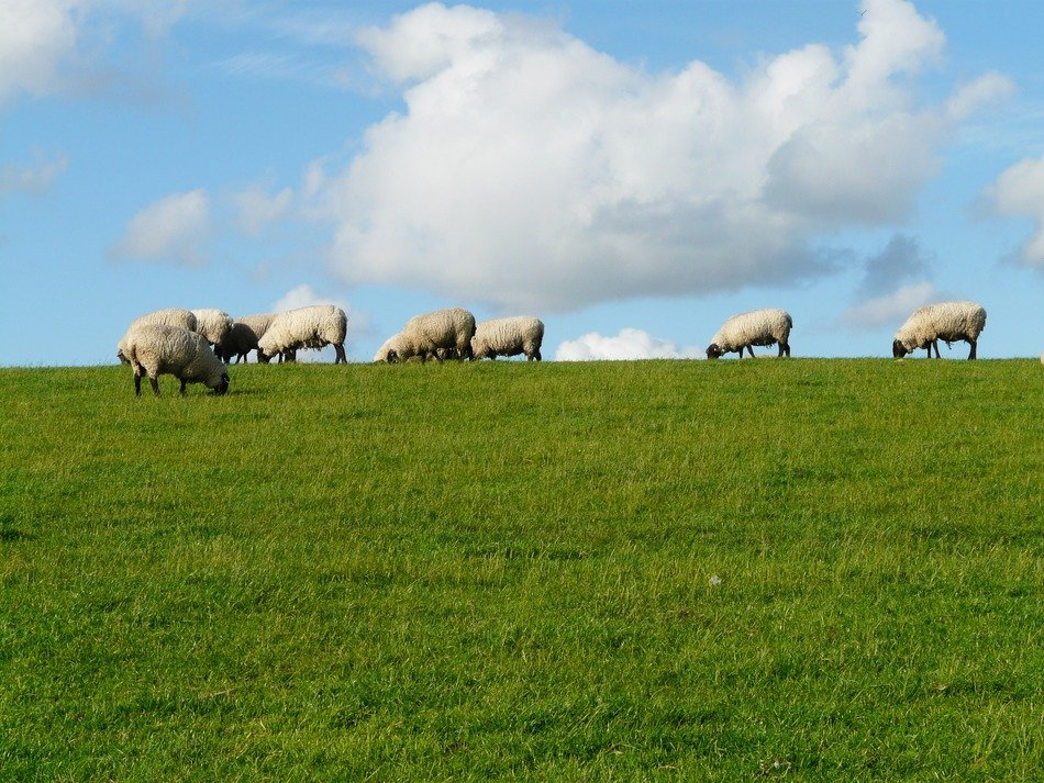 herd of sheep on a green meadow