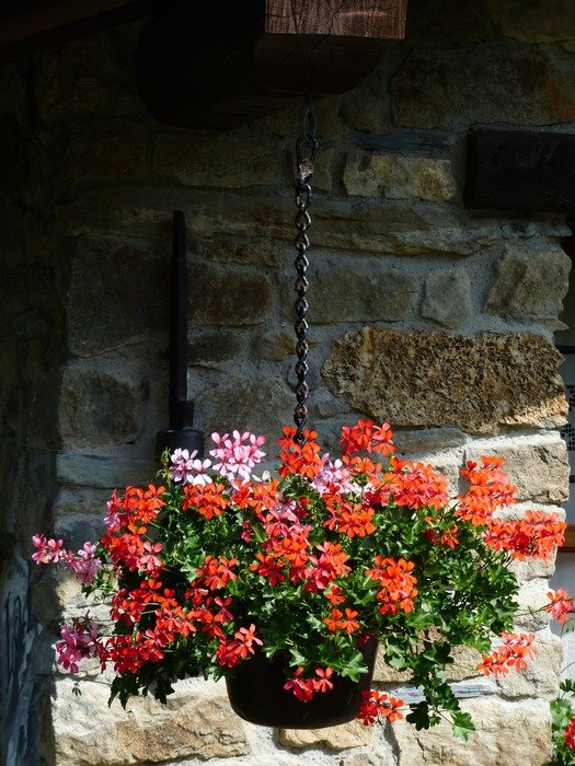 red and pink geranium in a pot hanging on the balcony