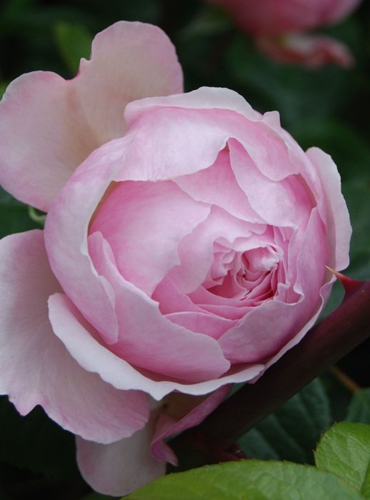 lush pink rose closeup