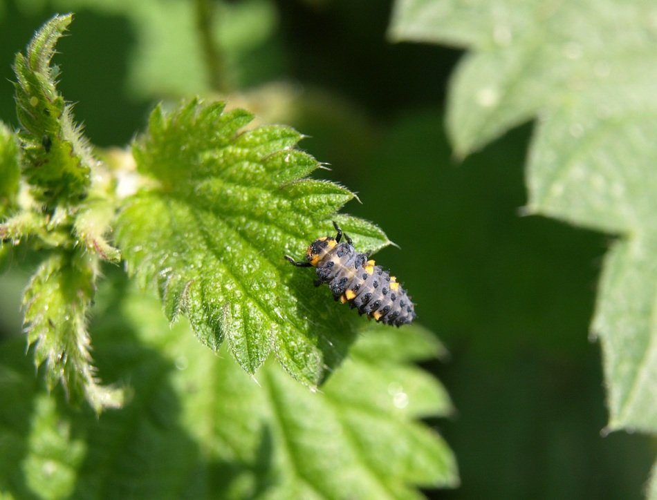 beetle larvae on the nettle