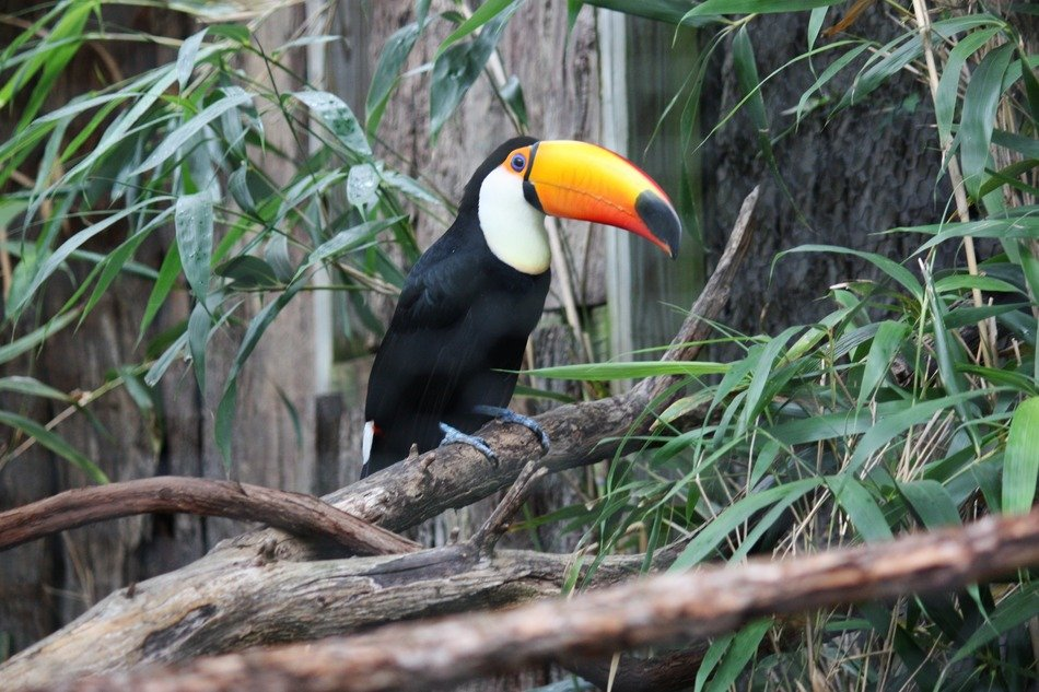 toucan with a large beak