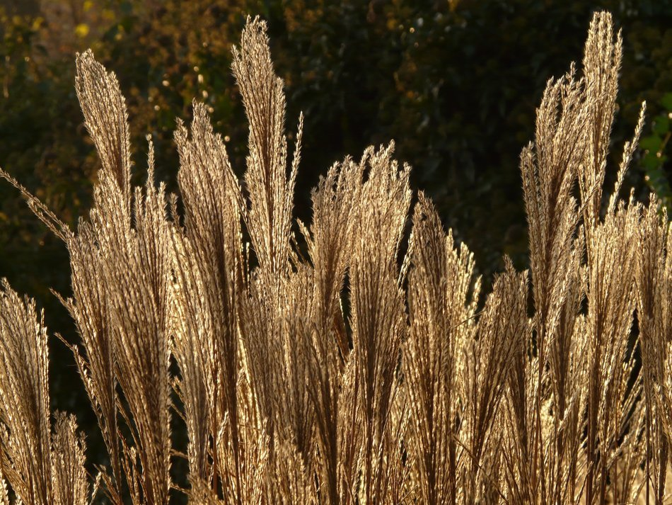 miscanthus outdoors