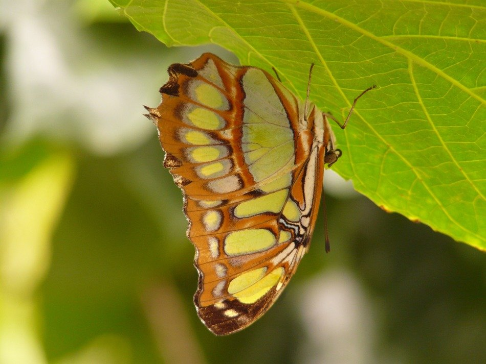 malachite butterfly on a bright green leaf
