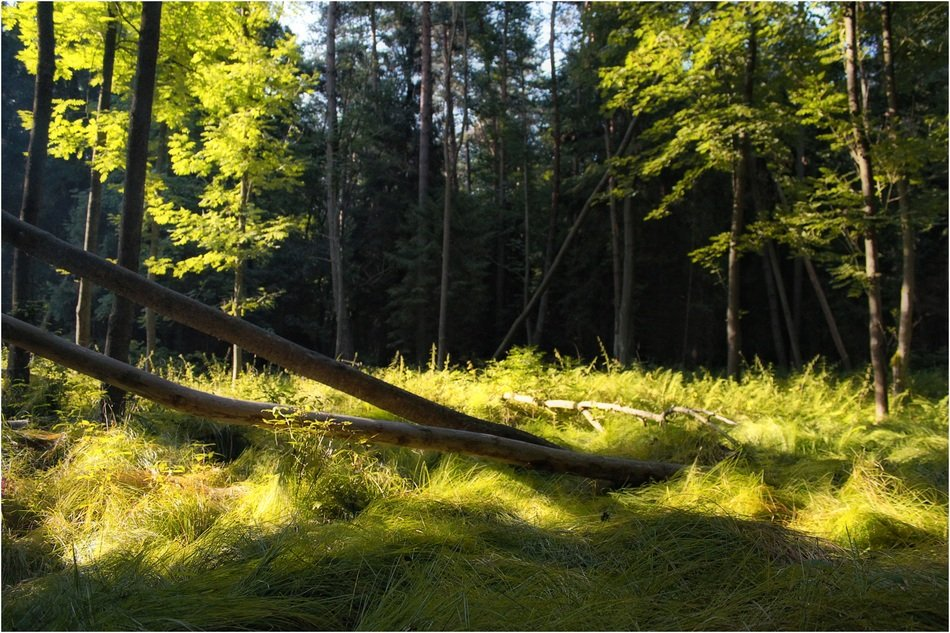 coniferous forest at sunny summer day