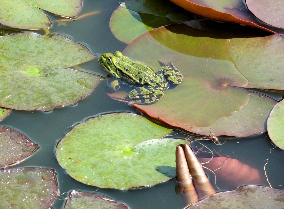 frog in a pond on a large sheet