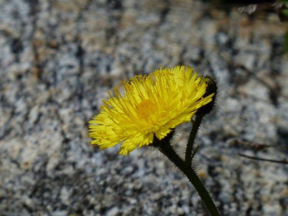 yellow alpine flower on a gray stone background
