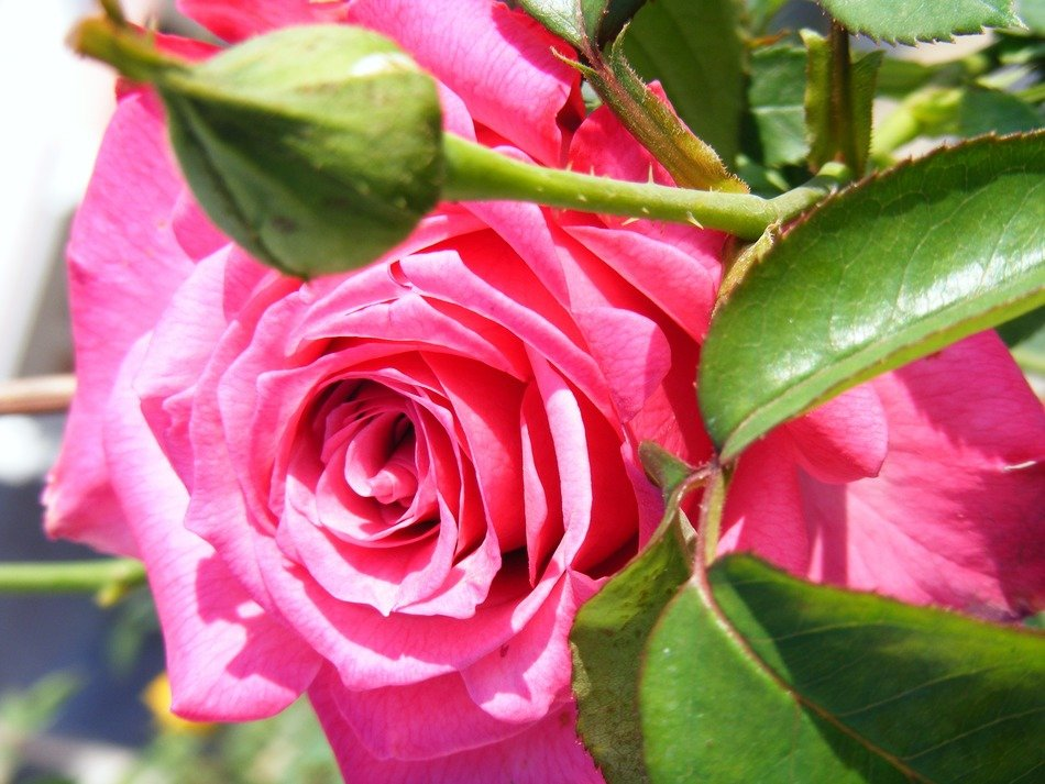 pink rose with bud closeup
