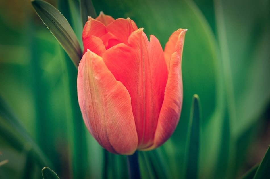 closeup picture of red tulip is a spring flower