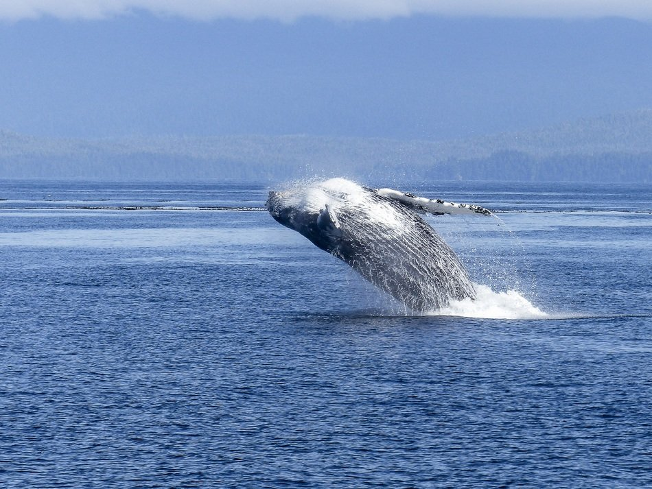 jump of the humpback whale is natural spectacle
