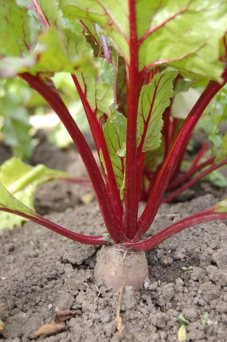 beet with haulm in the land