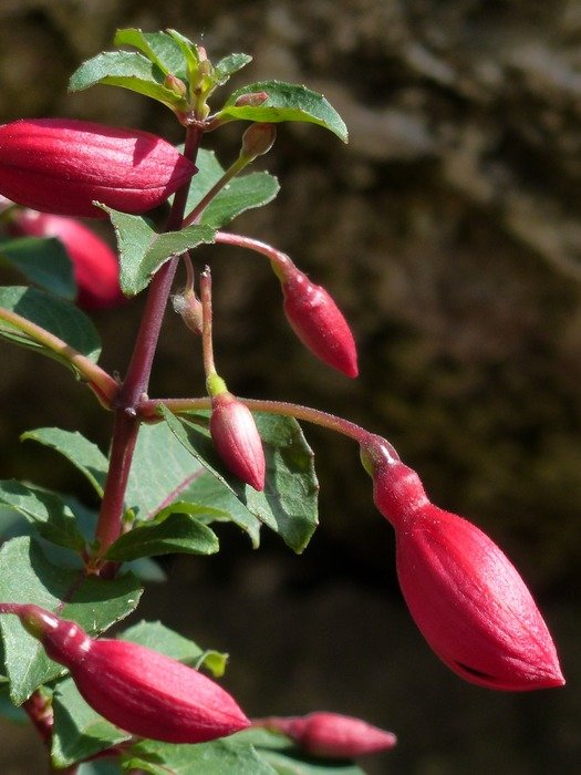 burgundy fuchsia closed buds
