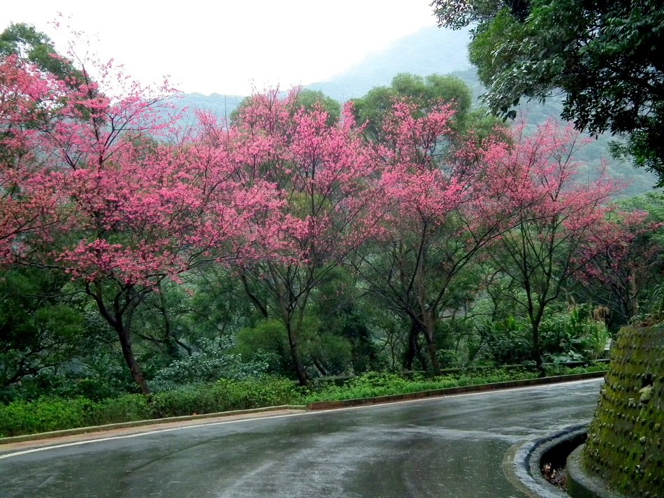blooming pink cherry blossoms along a road in Taiwan