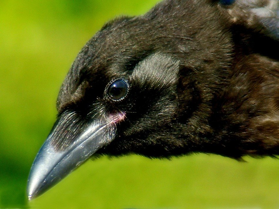 black crow head close up