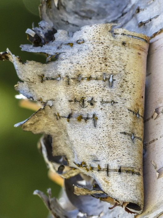 torn birch bark