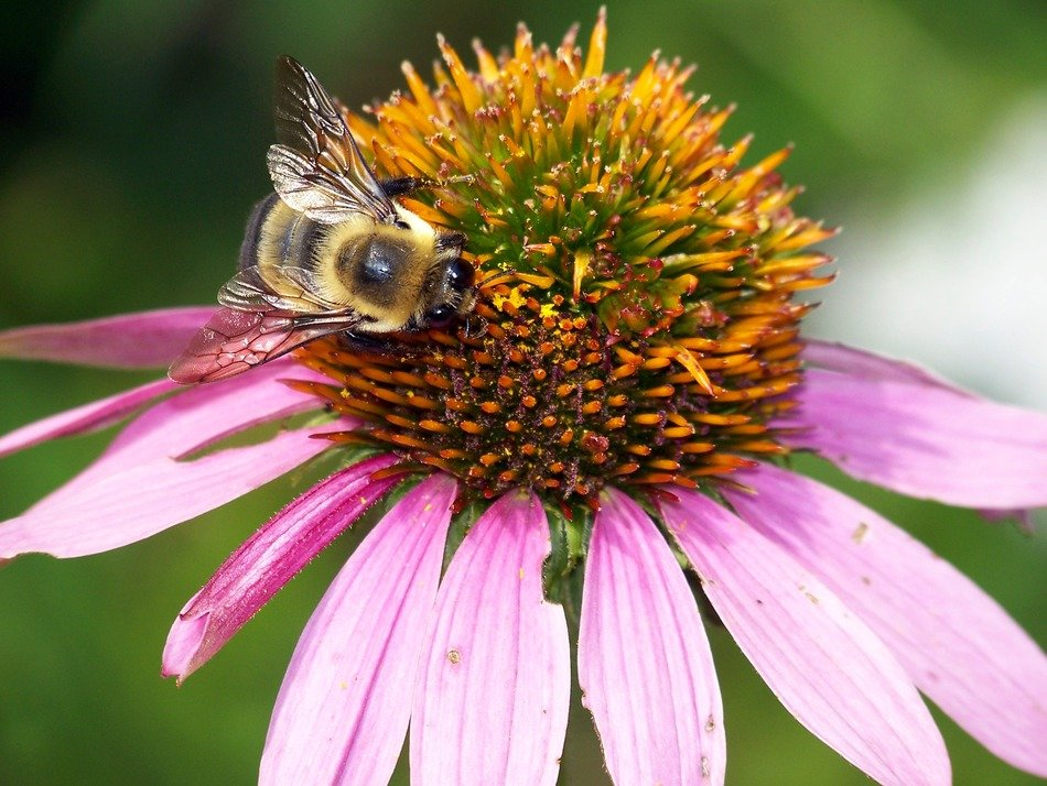 bumblebee on a flower echinacea closeup