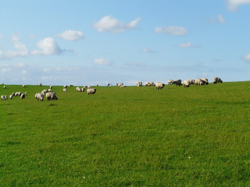 herd of sheep on a green meadow on background cloudy sky