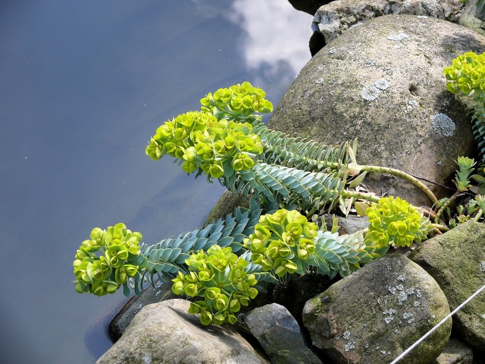 flowering green aquatic plant on the rocks on the shore