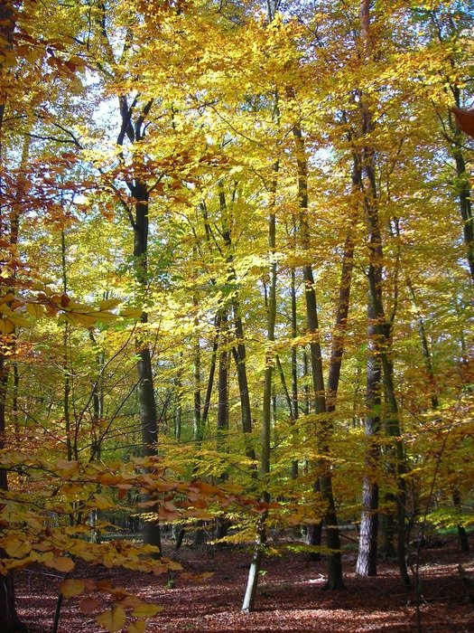 golden autumn deciduous forest