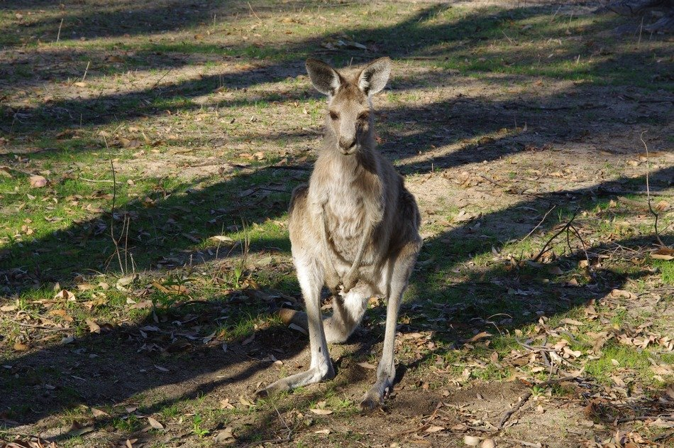 Australian kangaroo in the wild