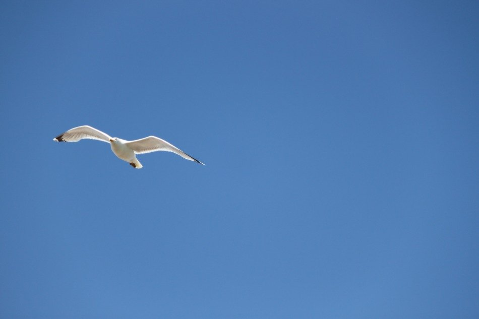 fast white seagull high in the sky