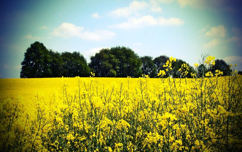 yellow rapeseed field on a background of green trees