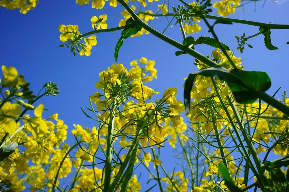 photo of rapeseed flower bottom view