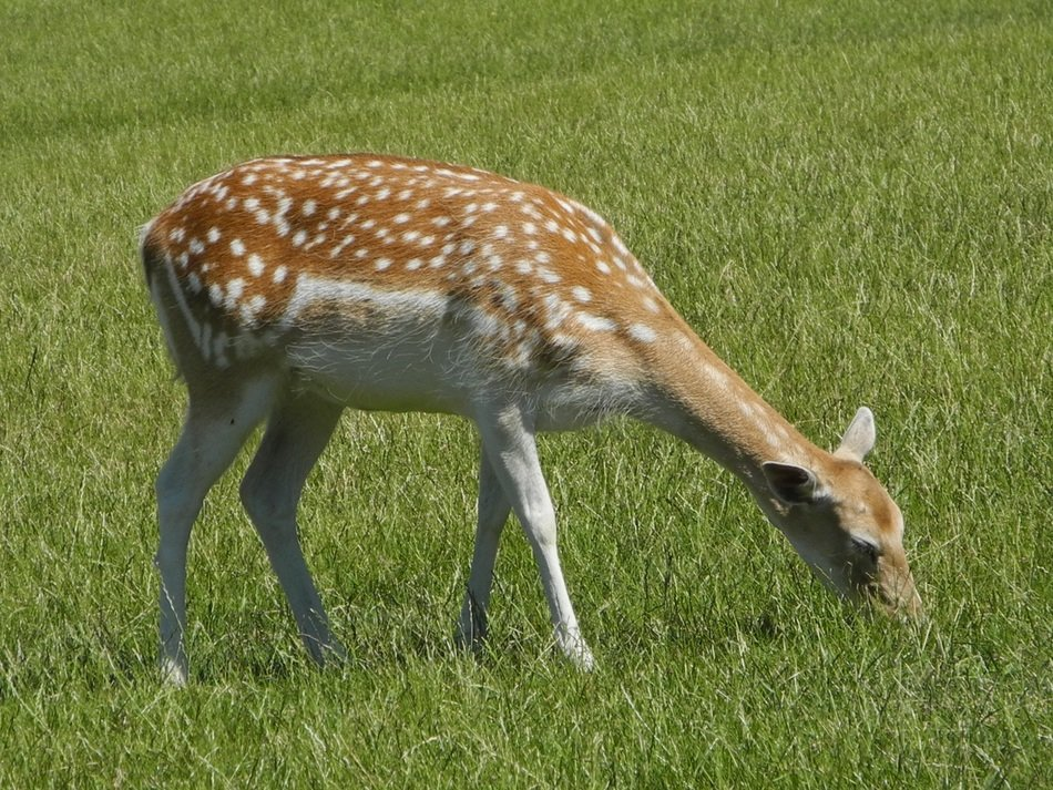 fallow deer on green pasture