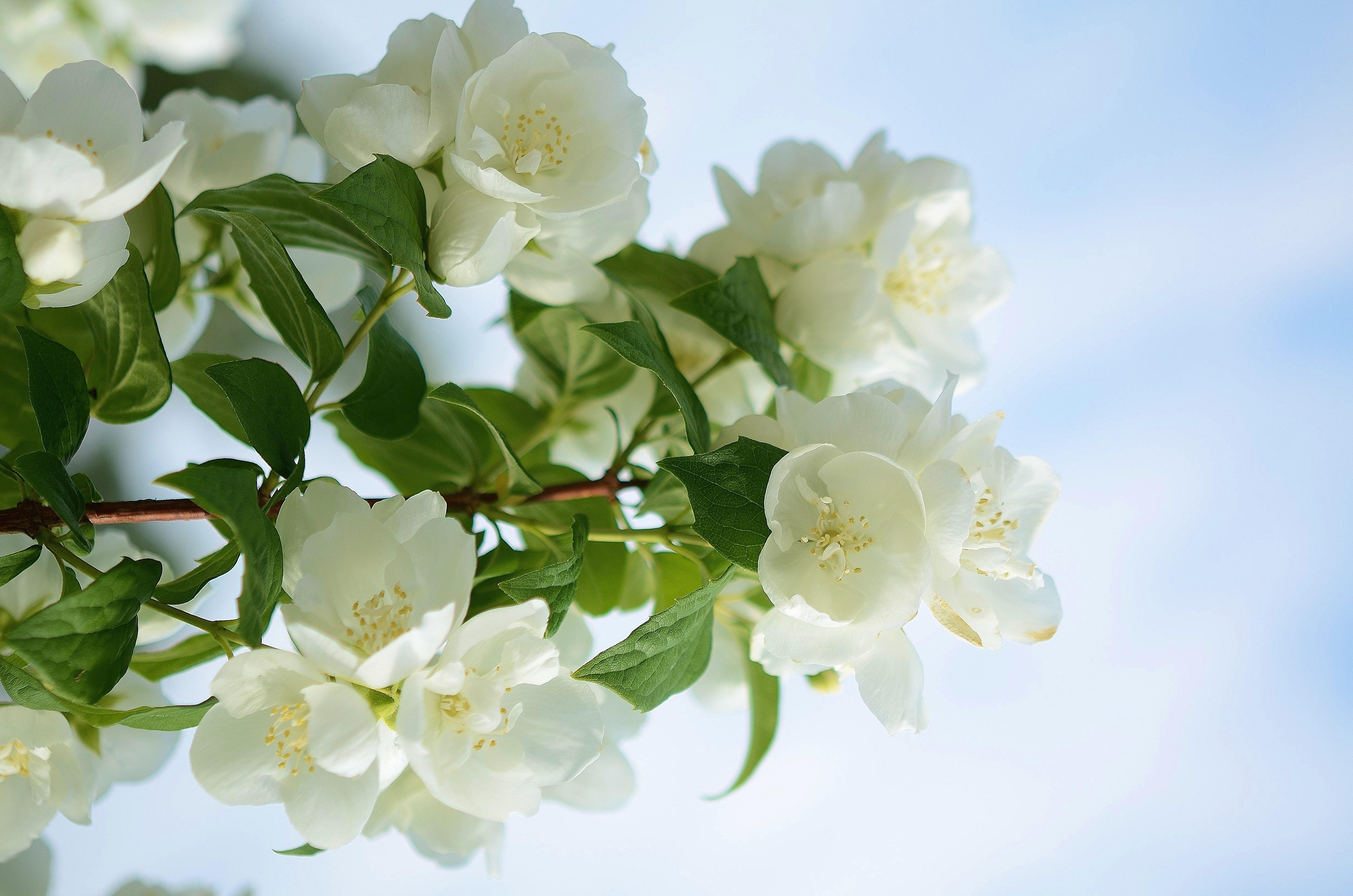 Чистяк весенний цветок бесплатно