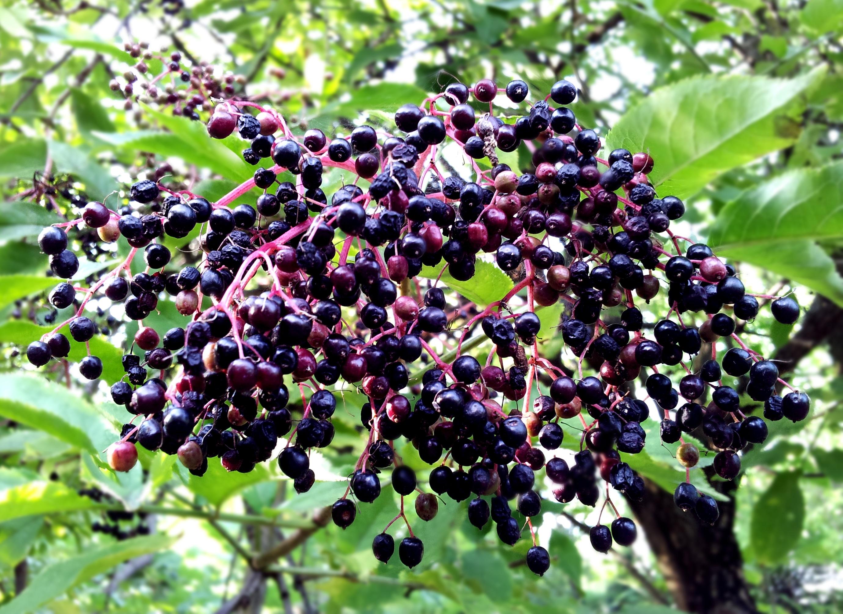 elderberry-black-beauty-tree