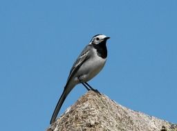 white wagtail on the rock against the blue sky