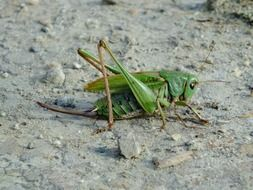 green grasshopper on the ground close up