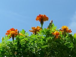 marigold flowers sky blue