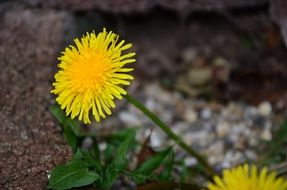 yellow dandelion spring flower